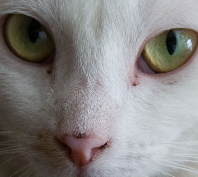 Как лечить гнойные выделения из глаз у кошки